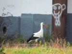 European White Stork & the inevitable graffiti