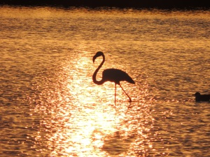 Flamingo in the Olhão salt pans at sunset