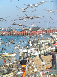 Gulls and fisherman in Culatra harbour, Ria Formosa, Algarve