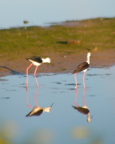 My first sighting of Black Winged Stilts in the Algarve