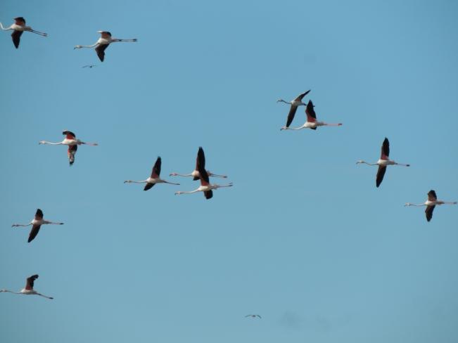 Algarve Flamingos