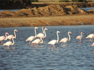 Flamingos in the Olhao saltpans