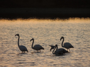 Olhao Flamingos at Sunset