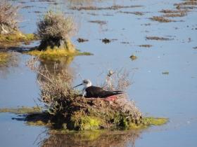 Stilt on a nest