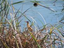 Little Bittern in the reeds