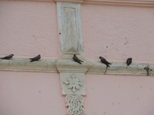 Alpine Swifts, we think!