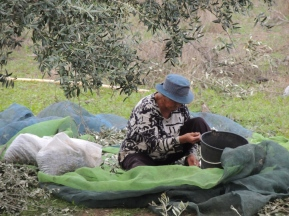 Working in the olive groves in Alcoutim