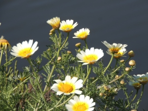 Crown Daisy are everywhere (from the Chrysanthemum family) and look stunning