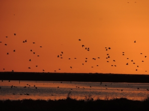The waders move across the skies in huge numbers, and yet sometimes as they turn they can disappear into the sky