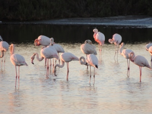 Looking particularly pink these Flamingos
