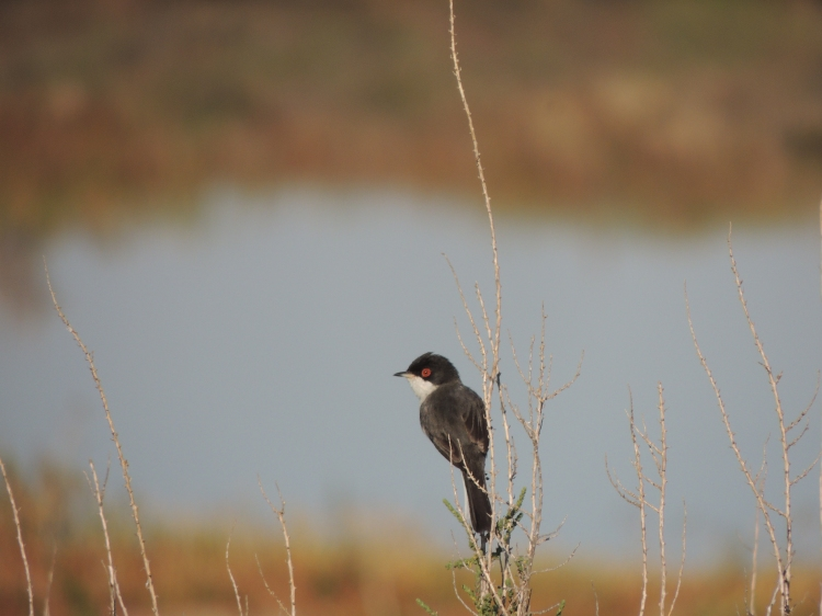 Sardinian Warbler in Olhão's saltpans, March 2015