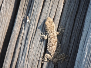 A Moorish Gecko - I think!