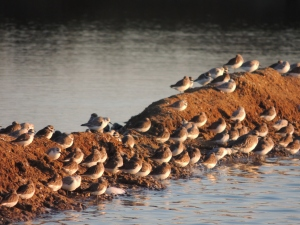 Plovers, Dunlins and others all settling down for the night.  The noise is incredible.
