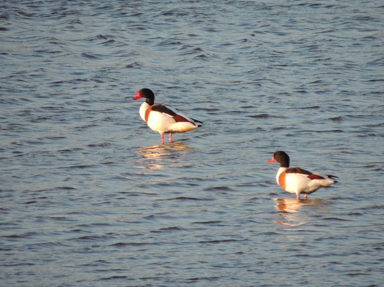 Common Shelduck on Olhão's saltpans