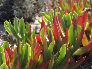 Ice Plants on Armona