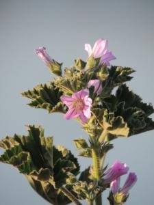 Small Tree Mallow (Lavatera cretica) - very common waste ground