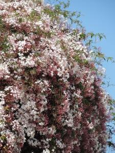 Jasmine flowering in early April