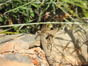 We were hoping to see chameleons on a walk near Monte Gordo, no such luck but we did spot this gorgeous lizard.