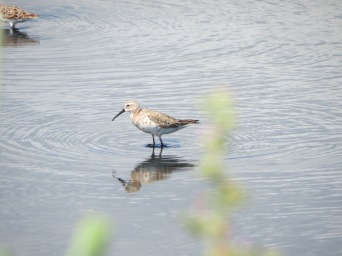Apologies for the bit of greenery, but if we had moved it or us the Curlew Sandpiper would have gone!