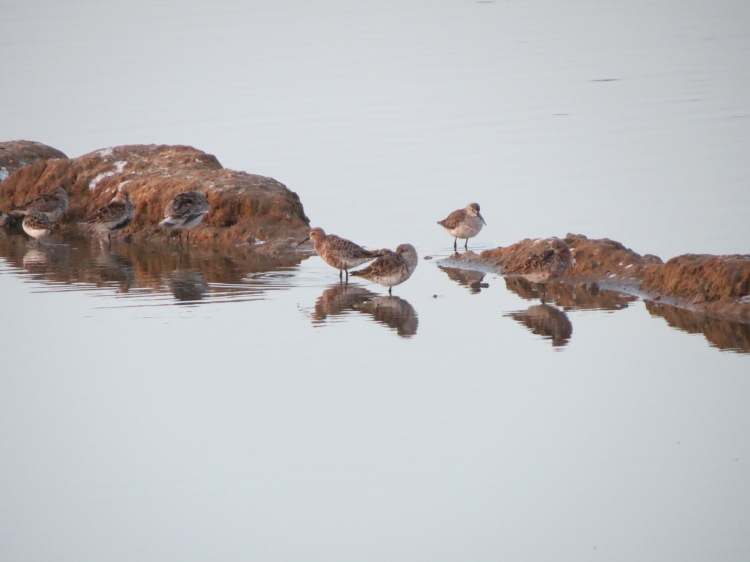 Dunlins, Curlew Sandpipers and more . . . .