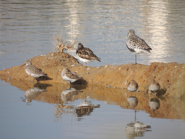 This is why I find it difficult - at least 4 species here. Grey Plover, Turnstone, Dunlins and the Curlew Sandpiper