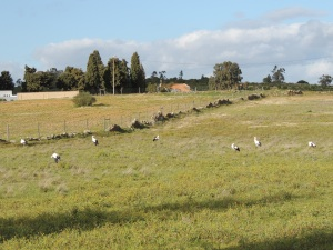 A field of Storks!