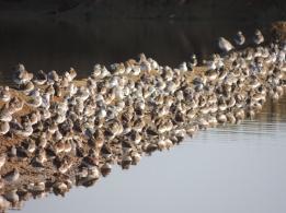 Dunlins, Plovers and more