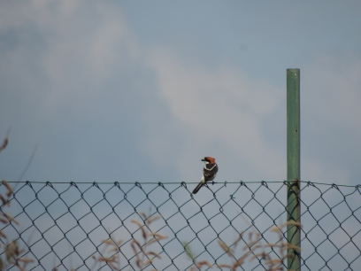 Back of Shrike perched on fence
