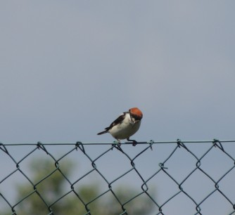 Shrike perched on fence