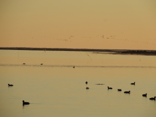 Coots on the water with hundreds of wading birds in flight