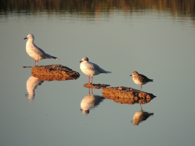 A Slender Billed Gull and a Grey Plover sit to the left and right of a Black Headed Gull