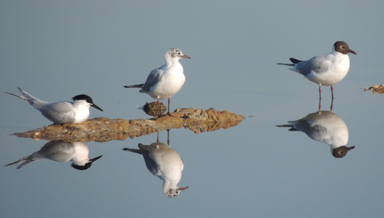 Two Black-Headed Gulls with a Sandwich Tern