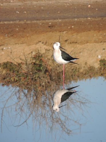 Mirror reflection of a Stilt