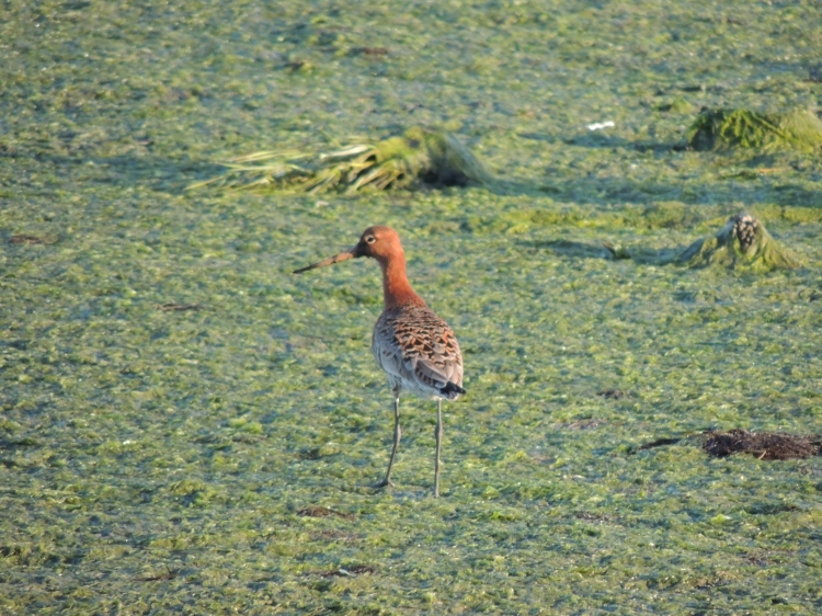 Bar Tailed Godwit in Summer Plumage