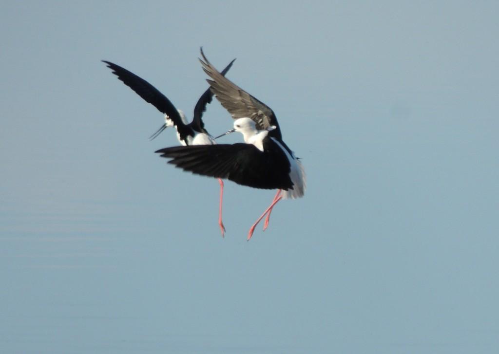 Two Black Winged Stilts in flight