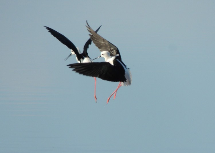 Two Black Winged Stilts in flight