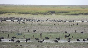 Hundreds of coots in the mud