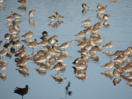 Prayers of Godwits