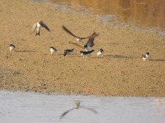 House Martins gathering mud