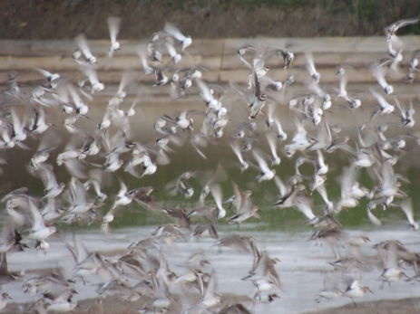 Plovers, Dunlins and more