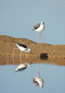 Told you on 16th September I liked Black Winged Stilts!