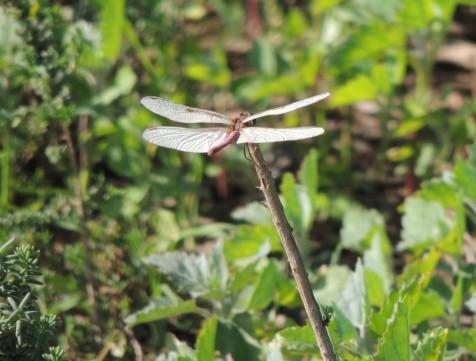 Dragonflies Extraordinaire