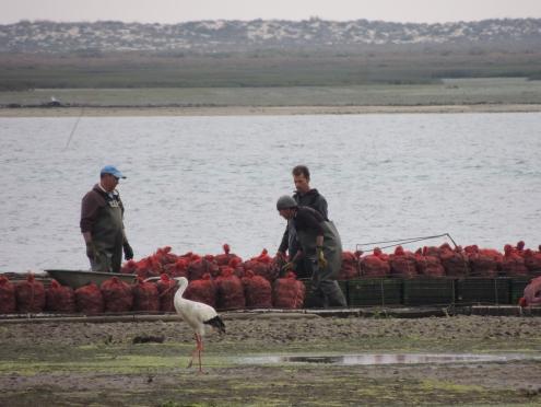 Shellfish Farmers under scrutiny