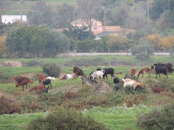 Algarvian goats