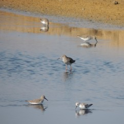 Red Shank, Dunlins and Sanderlings