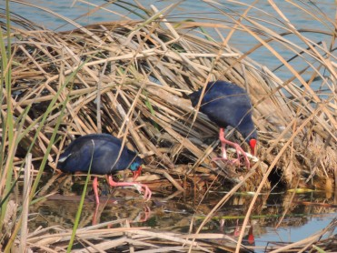 Sultana Birds