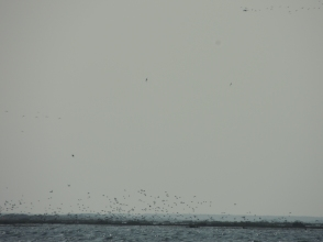 Unsettled gulls