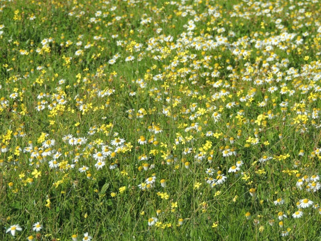 Daisies and Brassicaceae