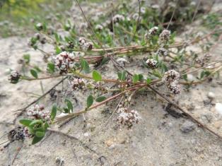 Iberis procumbens - more common name is Dune Candytuft