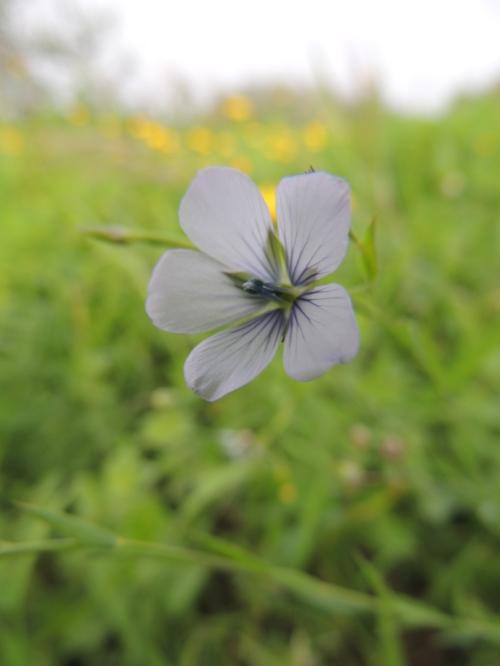 Linum bienne (Pale Flax)